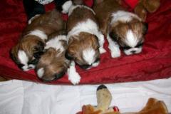 20.puppy_