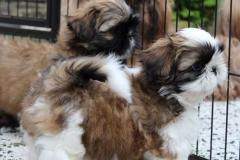8.puppy_